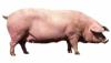Свині породи ландрас