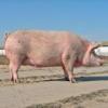 Свині української степової білої породи