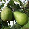 Створення нових сортів груші