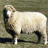Овцы харьковского внутрипородного типа породы прекос