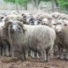 Овцы сокольской смушковой породы