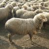 Вівці асканійської тонкорунної породи (таврійський тип)