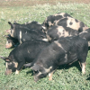 Свині української степової рябої породи