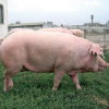 Свині української м'ясної породи свиней (асканійський тип)
