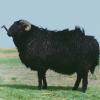 Вівці асканійської каракульської породи