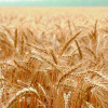 Насіння озимої пшениці