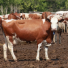 Українська червоно-ряба молочна порода корів