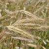 Семена озимой ржи