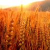 Озиме жито