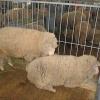 Овцы мясной породы полварс