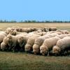 Вівці таврійського типу асканійської тонкорунної породи