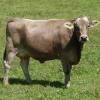 Украинская бурая молочная порода КРС