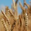 Пшениця озима