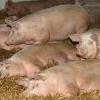 Свині великої білої породи