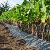 Виноградные саженцы