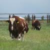 Велика рогата худоба (ВРХ)