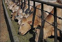 Смеси для кормления крупного рогатого скота