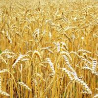 Семена пшеницы твердой озимой