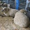 Вівці асканійської м'ясо-вовнової породи з кросбредною вовною