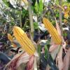 Насіння кукурудзи Аманіта