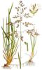 Вівсяниця лучна (Festuca pratenis)