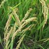 Консультации по вопросам защиты посевов риса от вредных организмов