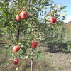Саджанці плодових і ягідних культур