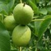 Сортовивчення плодових, ягідних і горіхоплідних культур