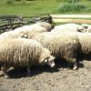 Селекційна робота у тваринництві