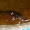 Вирощування молоді осетрових видів риб