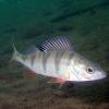 Заготівля цінних видів риб