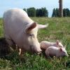 Корма для свиней