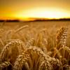 Озима пшениця