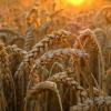 Семена тритикале озимого