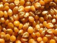 Закупівля зерна кукурудзи