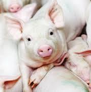 Розведення та вирощування племінних свиней