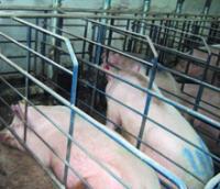 Комплексное оборудование для содержания маточного поголовья свиней