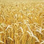 Пшеница твердая озимая Скаген