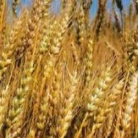 Пшеница твердая яровая